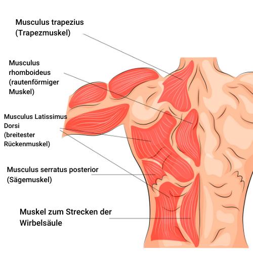 Rückenmuskulatur Muskelaufbau
